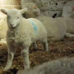 Lambs at Meanwood Valley Urban Farm