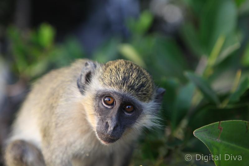 Gambian Monkey