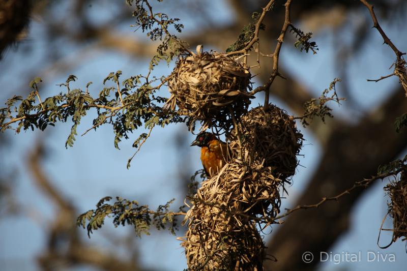 Gambian Bird