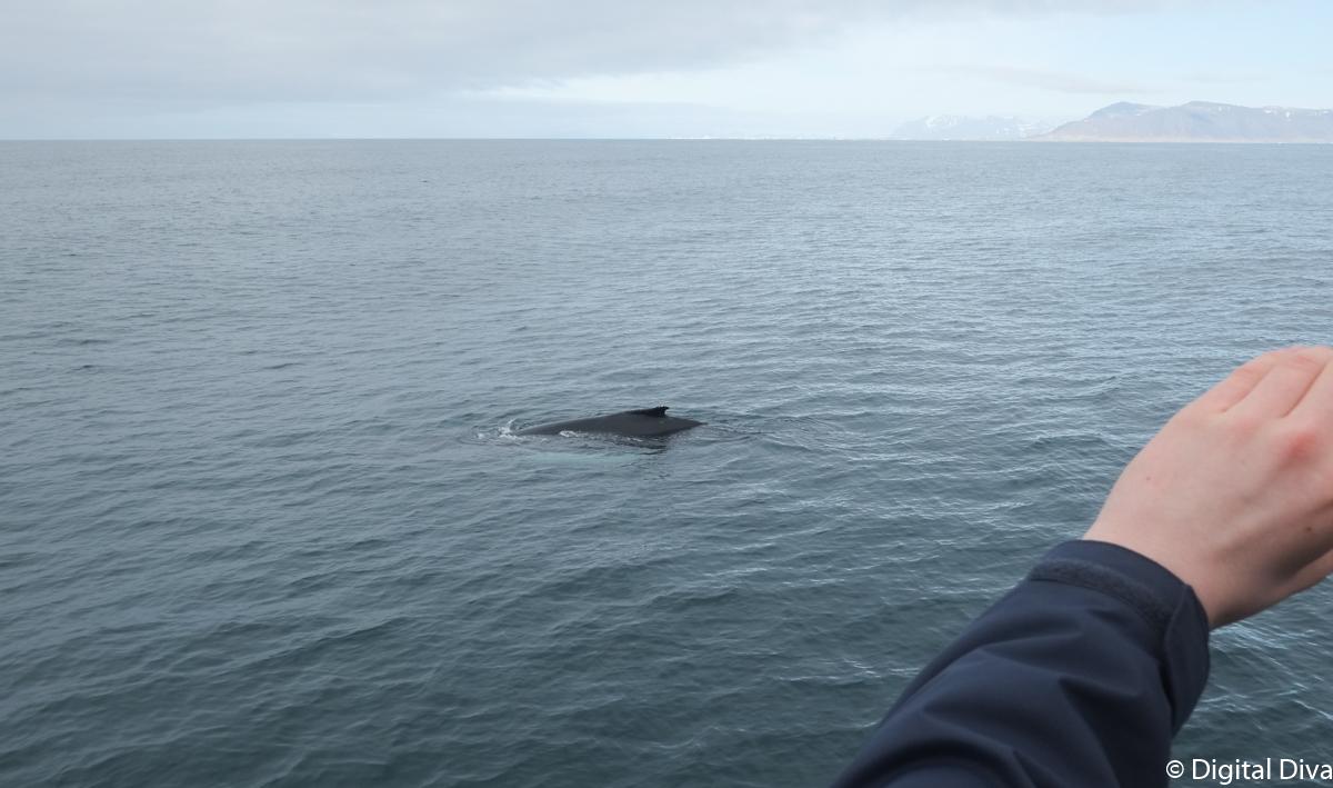 Whale Watching in Reykjavik